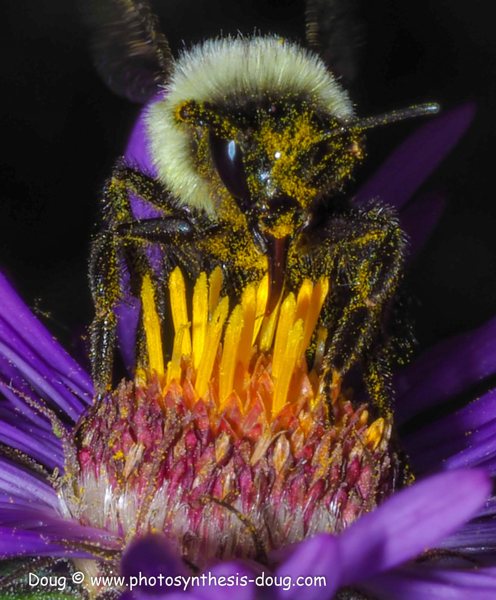 1 bee on aster-9300630.JPG