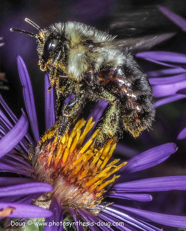 1 bee on aster-9300640.JPG