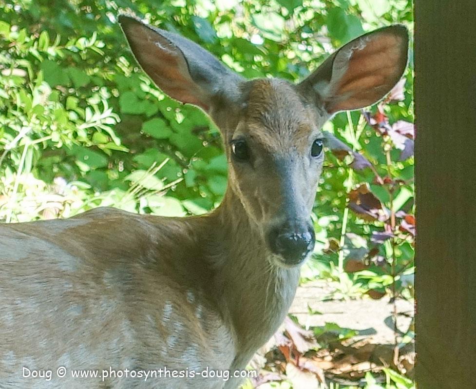 deer-01251.JPG