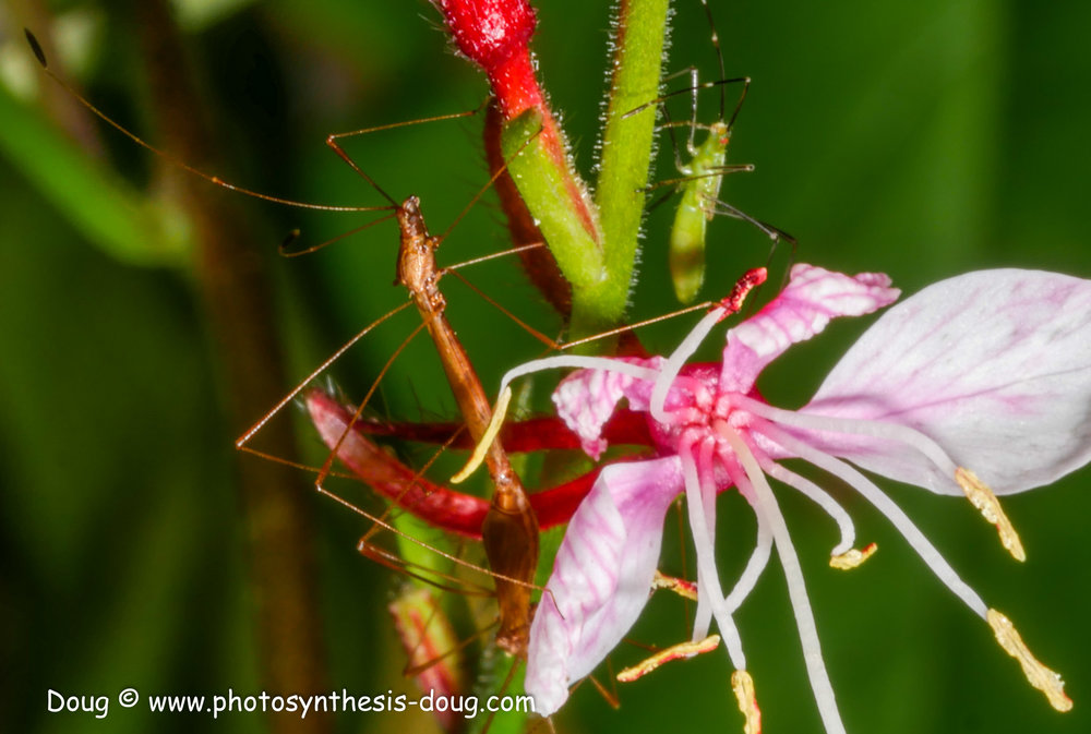 gaura flower with stick bugs-1070757.JPG