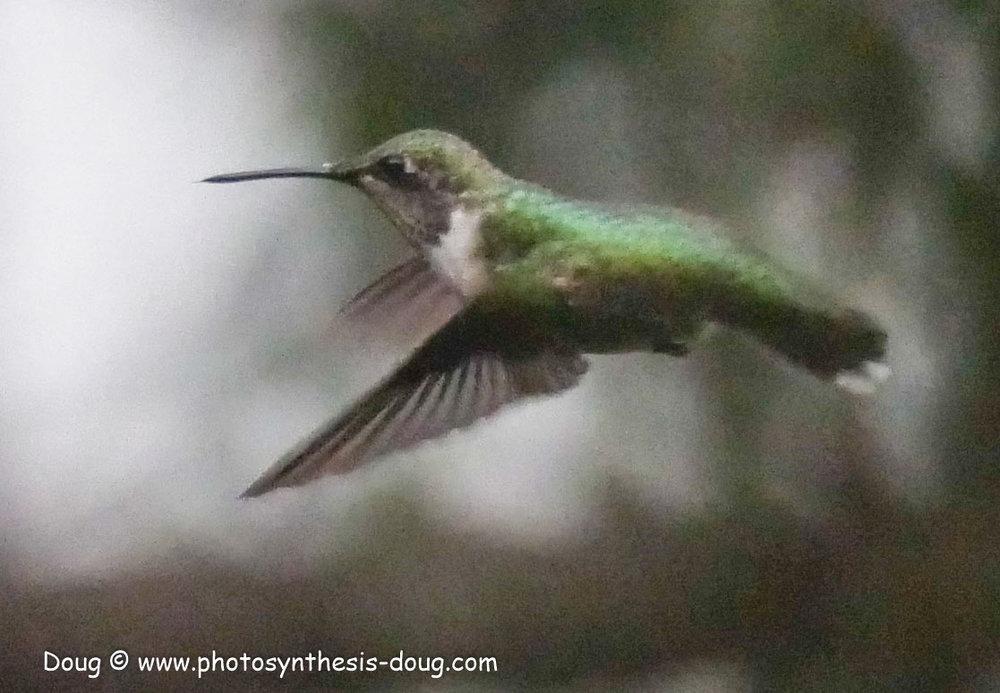 hummingbird-1120031.JPG