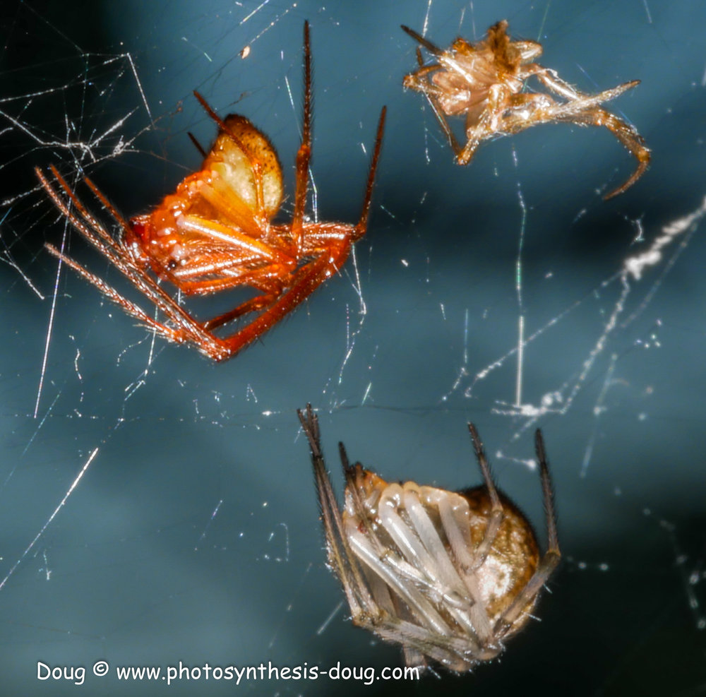 spider with 2 exo-skeletons-1070751.JPG