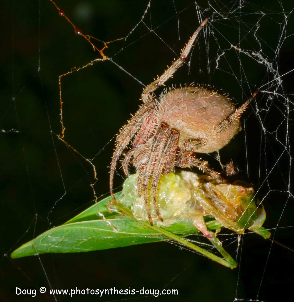 spider with prey-1070934.JPG