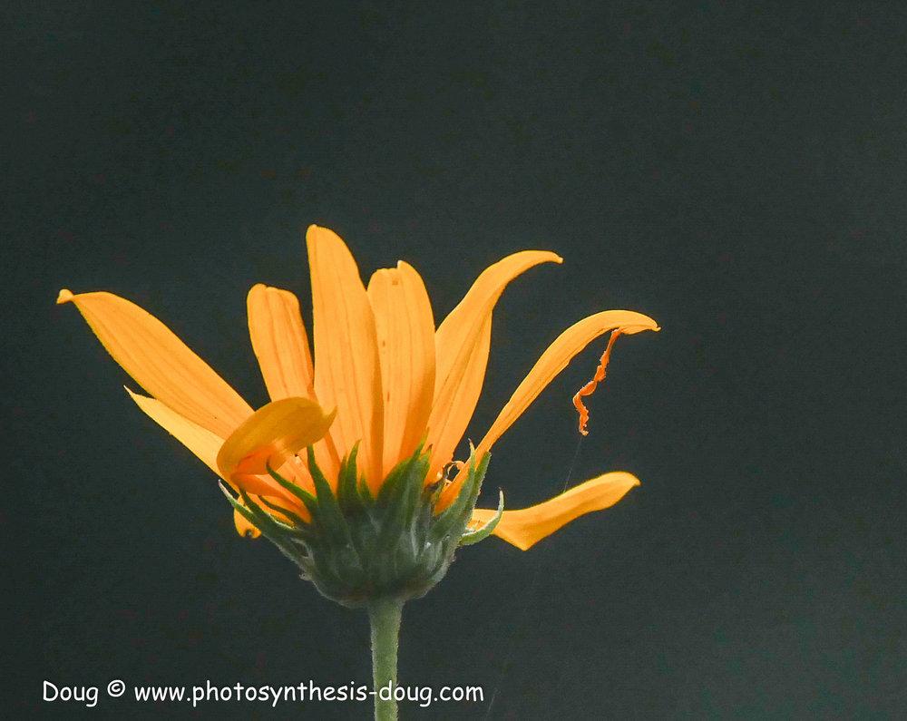 sunflower-1110993.JPG