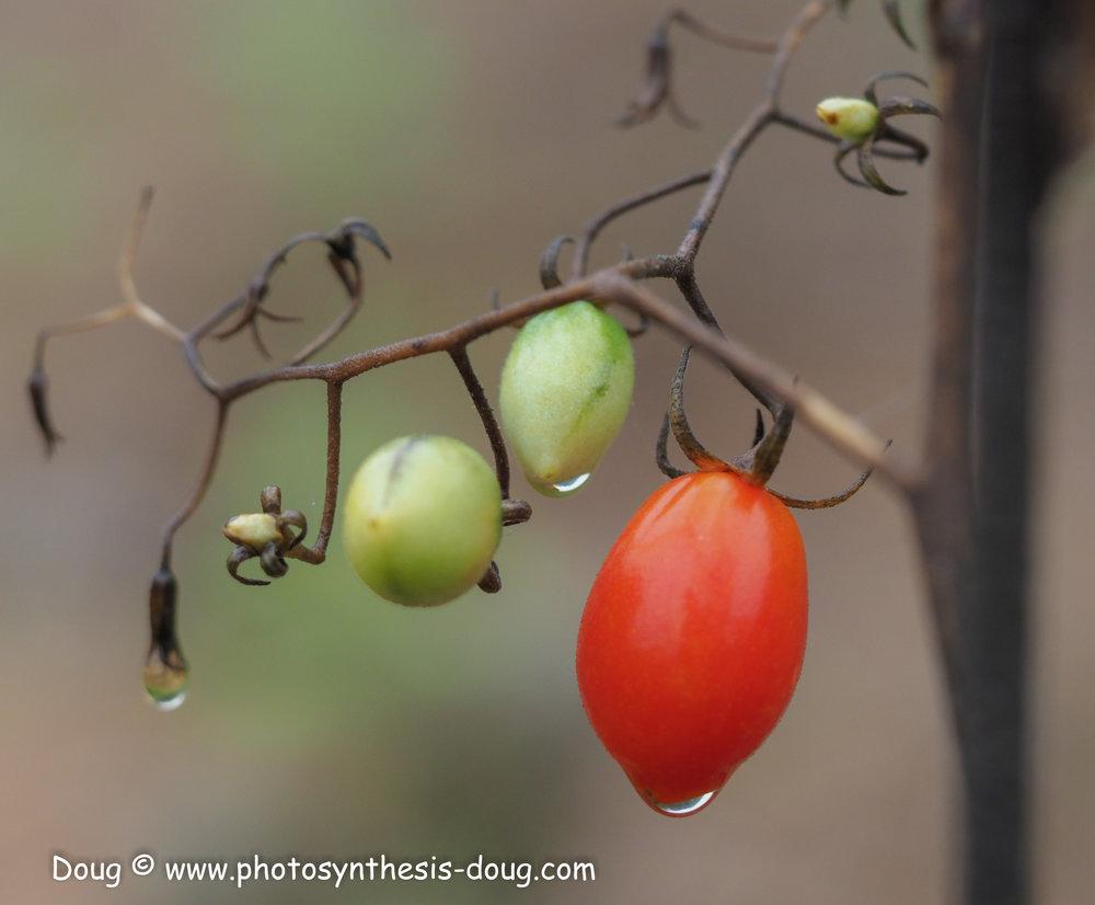 tomatoes-9260346.JPG