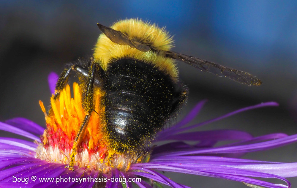 aster and bee 4-021019.JPG