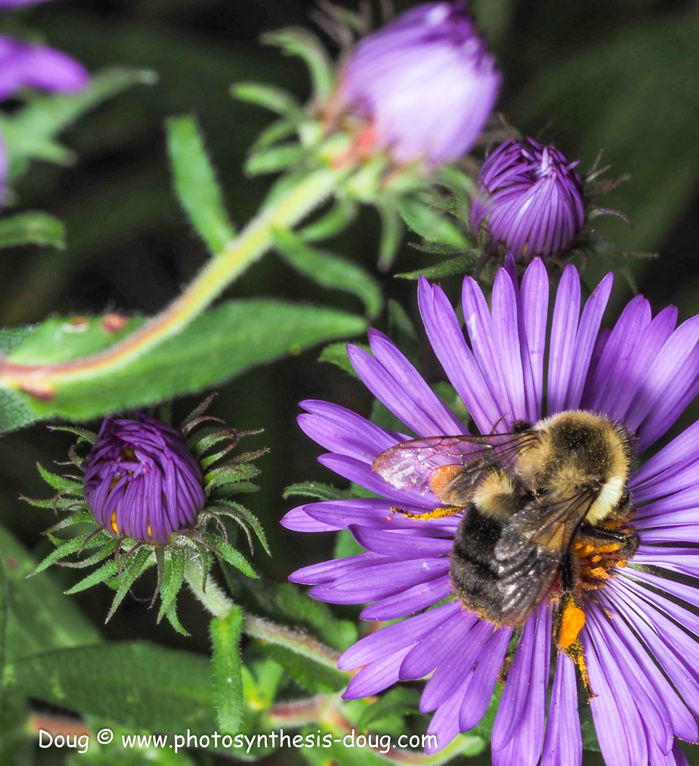 aster and bee-021002.JPG