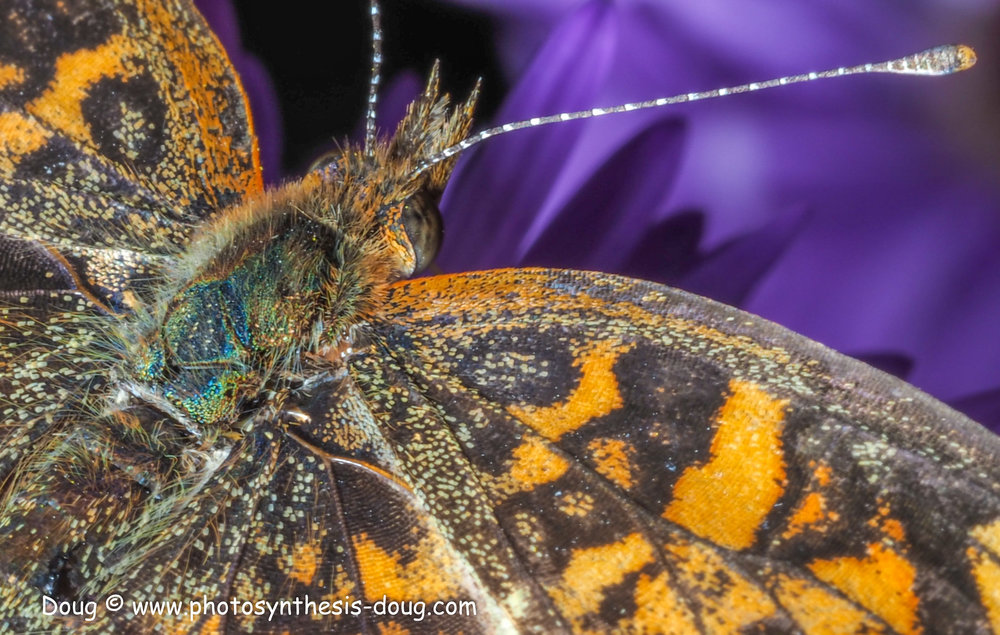 aster and butterfly-021004.JPG