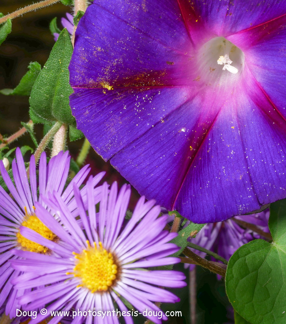 aster and morning glory-1080770.JPG