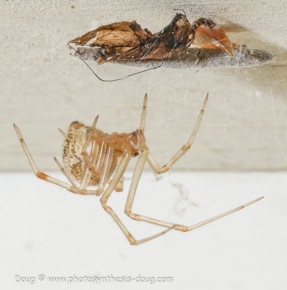 spider with prey-1130316.JPG