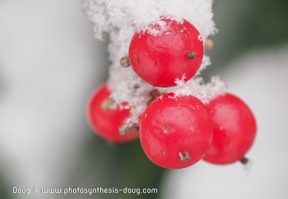 Holly tree berries ready for spring migrating Cedar Waxwings … Photo by Doug Coulson