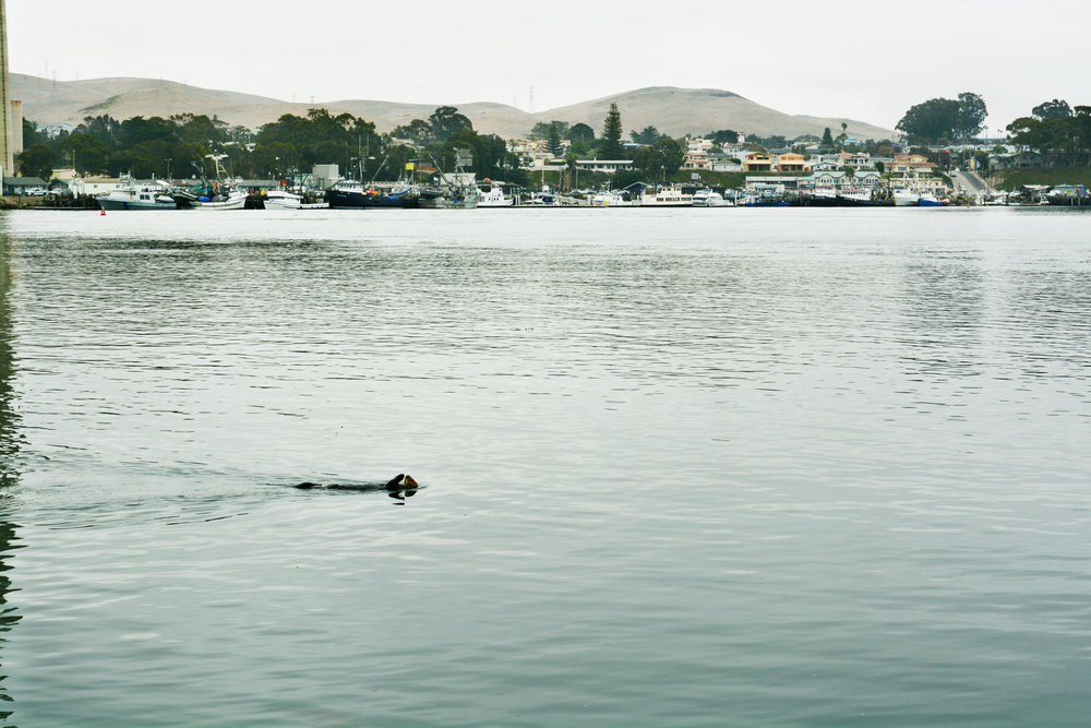 Sea Otter taking a swim in Morro Bay