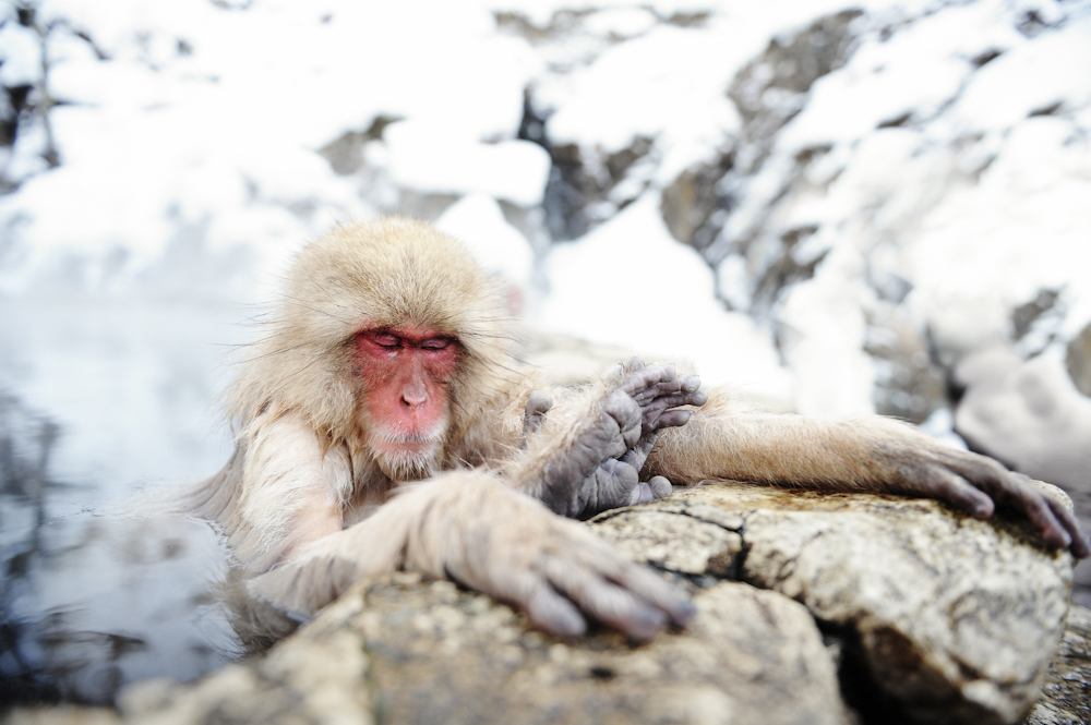 Yamanouchi in northern Nagano Prefecture. Jigokudani Yaen Koen - Snow Monkey Mtn