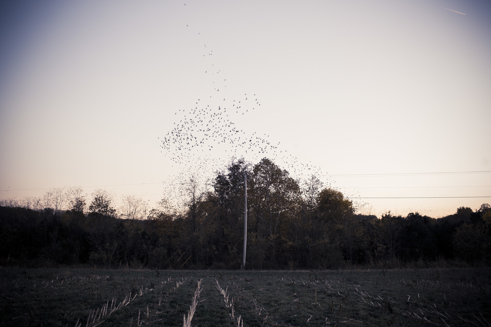 Starlings Above a Cornfield at Dusk, Mississippi Nearing Clarksdale, Mississippi
