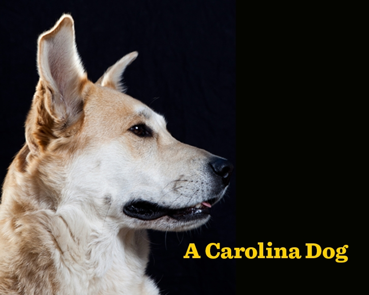 carolina-dog-story-header.jpg