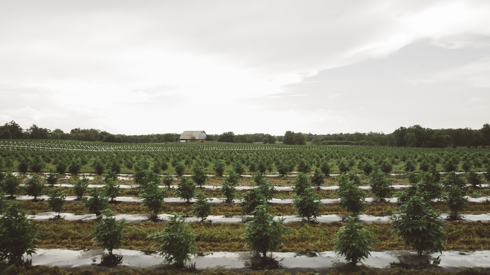 Atalo Holdings' 27 acres of cannabinoid-rich hemp plants in Winchester, Ky.