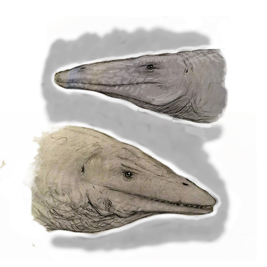 Other Mosasaurs of the inland sea: Above, the slender-jawed  Clidastes ; below, the scarred  Platecarpus .