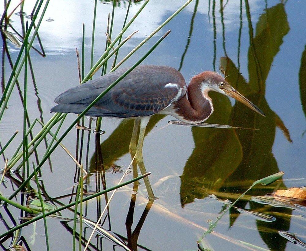Heron in Lagoon.jpg