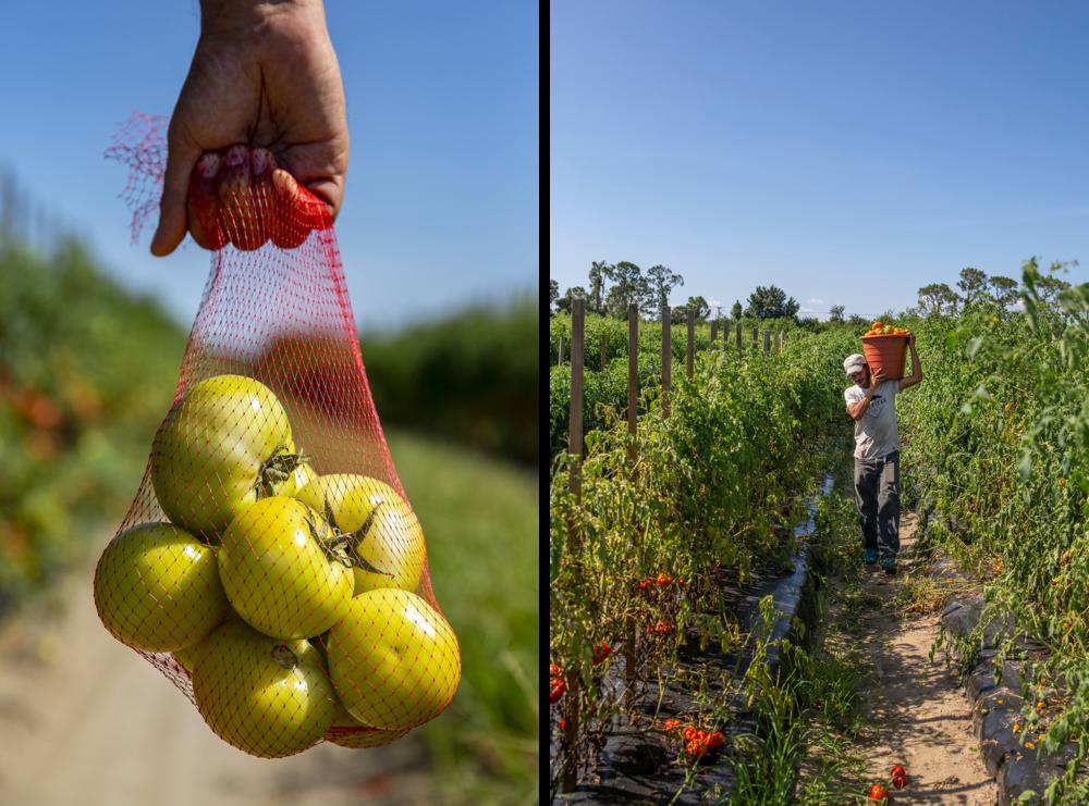 tomato-farmer.png