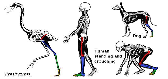(Presbyornis copyright Scott Hartman, other skeletals modified after Charles Knight.)