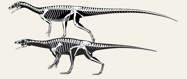 skeletal reconstructions  schematic vs realisticscott hartman u0026 39 s skeletal drawing com