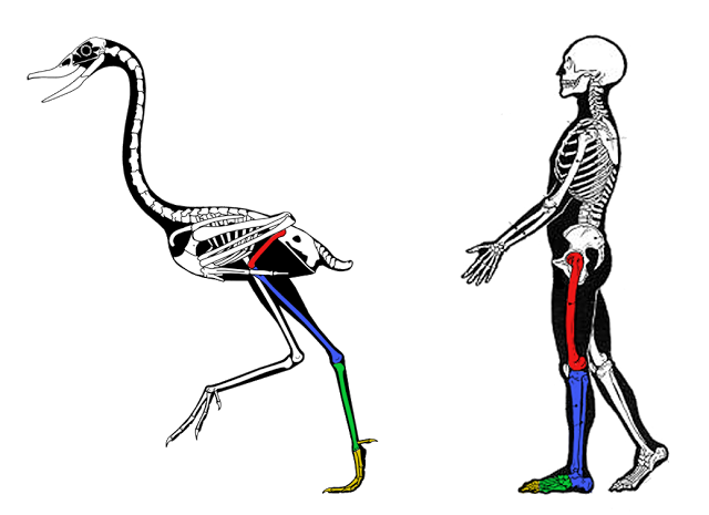 hind_limb_comparative_anatomy.png