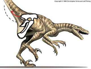 dromaeosaurus+broken+hip.jpg