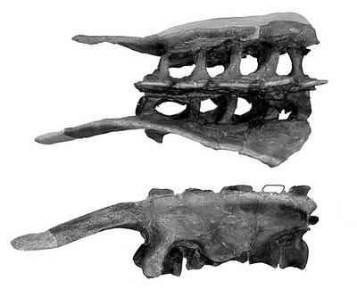 camptosaurus+hips.jpg