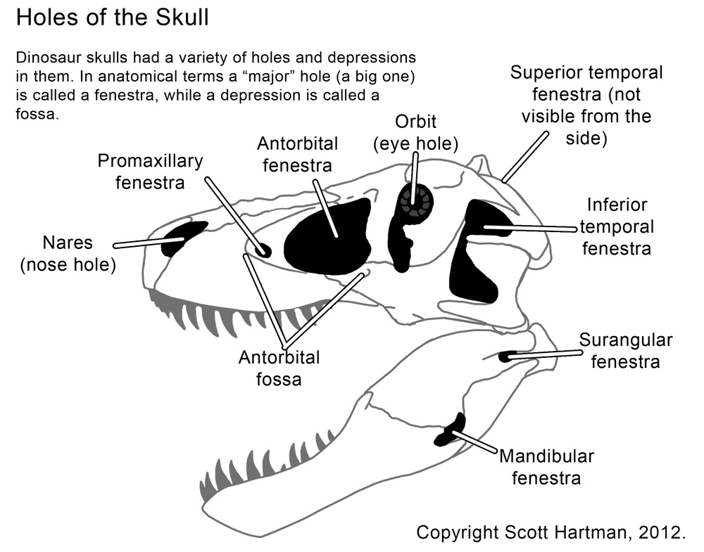 About AnatomyScott Hartman\'s Skeletal Drawing.com