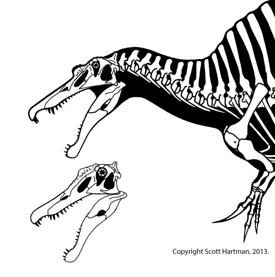 Skull reconstructions of Spinosaurus (top) and Irritator compared.