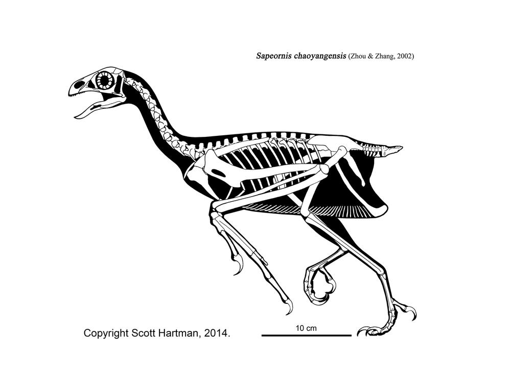 sapeornis.jpg