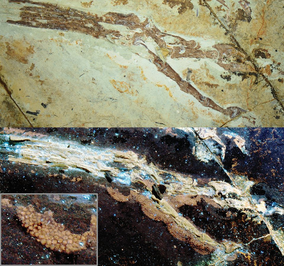 The foot of Anchiornis. Laser-FLUORESCENCE images on the bottom.
