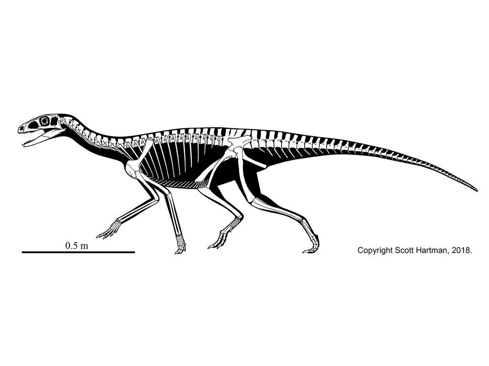 nondinosaursscott hartmans skeletal drawingcom