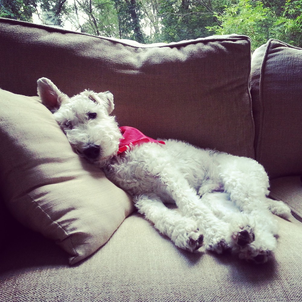 Lazy Wire Fox Terrier