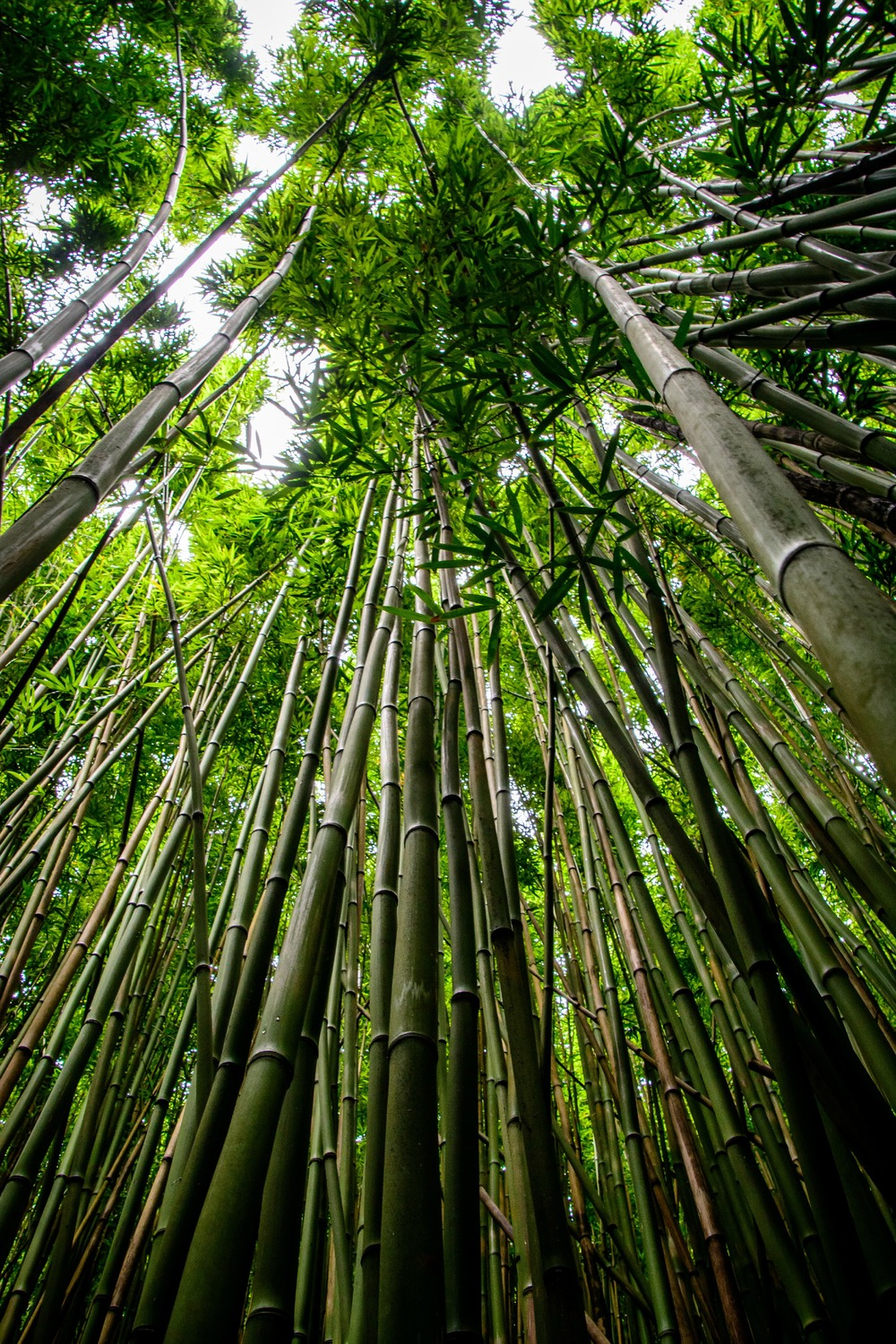 Road to Hana- Bamboo Forest