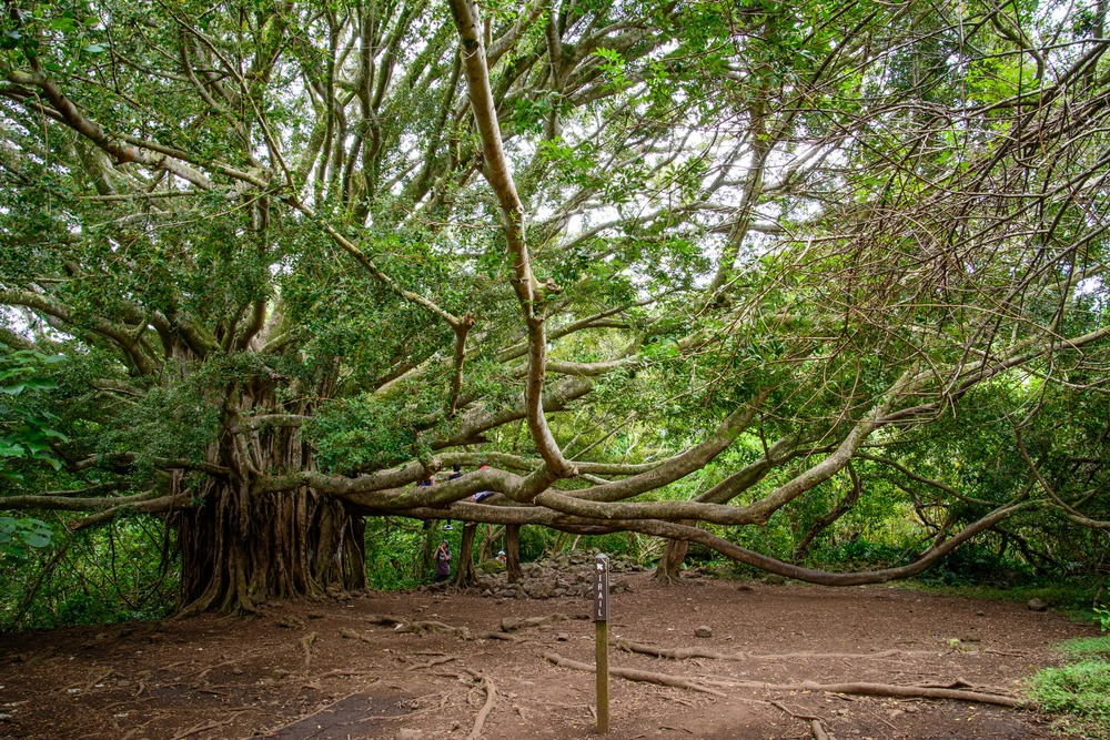 Road to Hana- Banyan Tree
