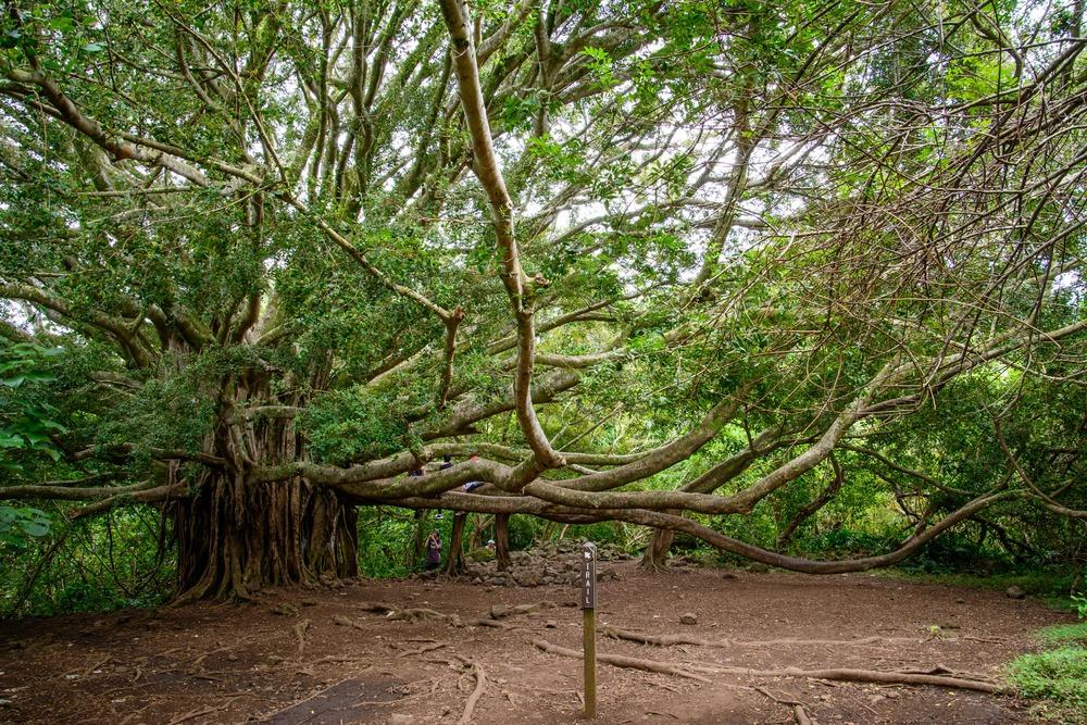 Road to Hana- Banyan Tree
