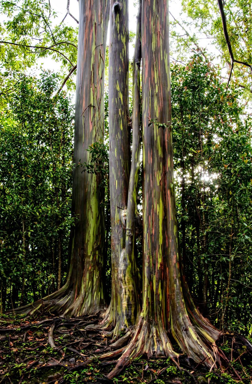 Road to Hana- Eucalyptus trees