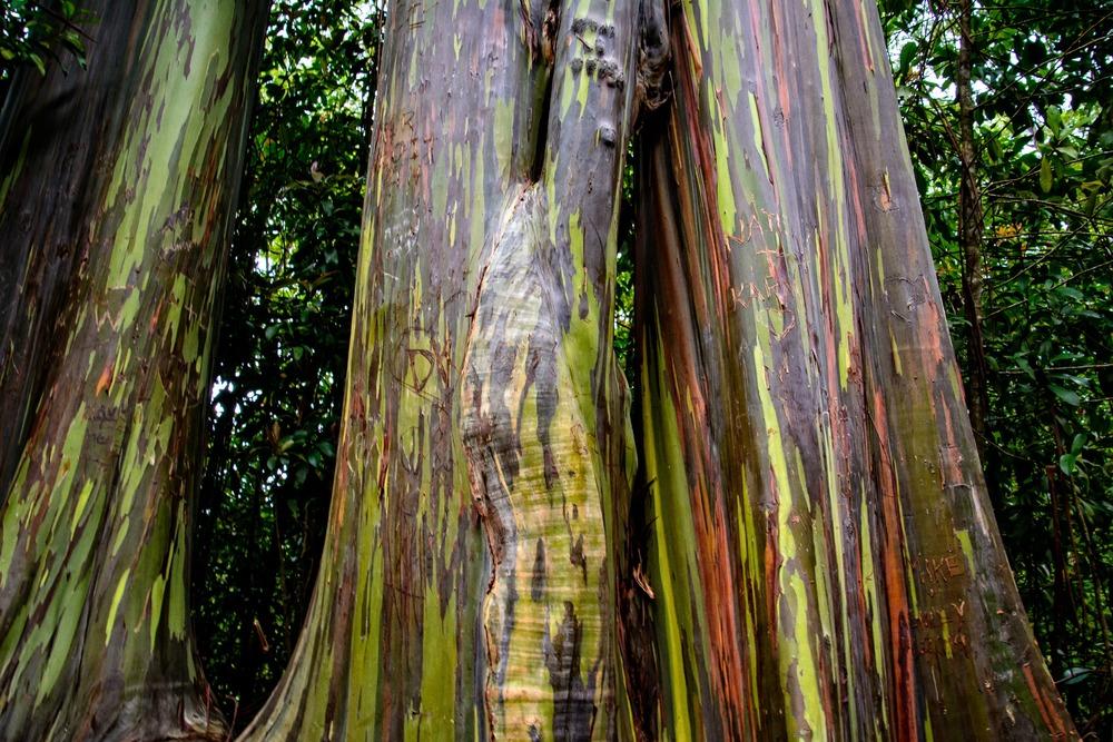 Road to Hana- Eucalyptus Tree
