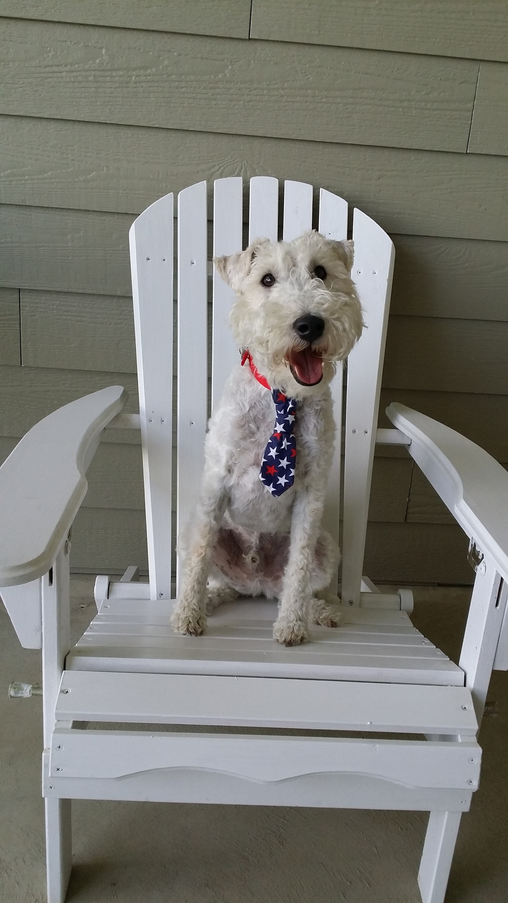 Cutest Wire Fox Terrier in the world.