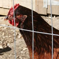 hens-1.jpg