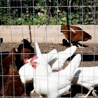 hens-4.jpg