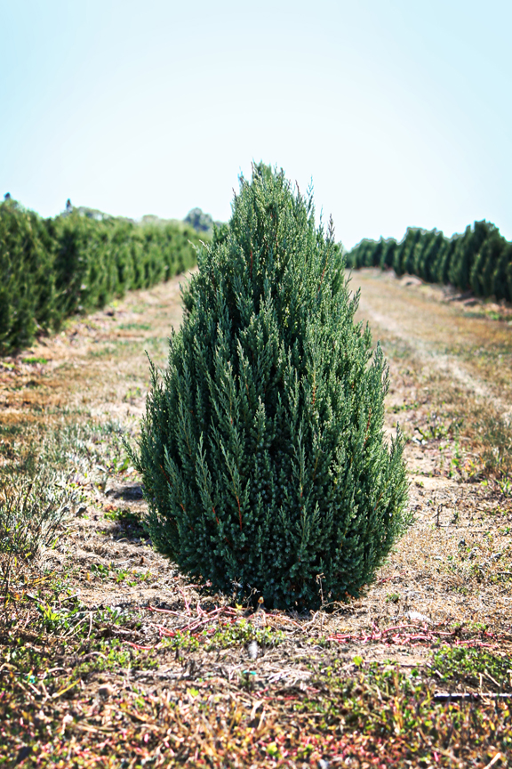 Juniperus scopularum  (Blue Juniper)