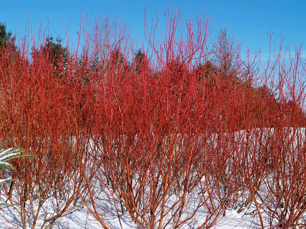 Cornus sericea (Red Twig Dogwood)