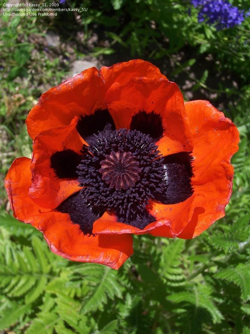 Papaver-orientale-Oriental-Poppy.jpg