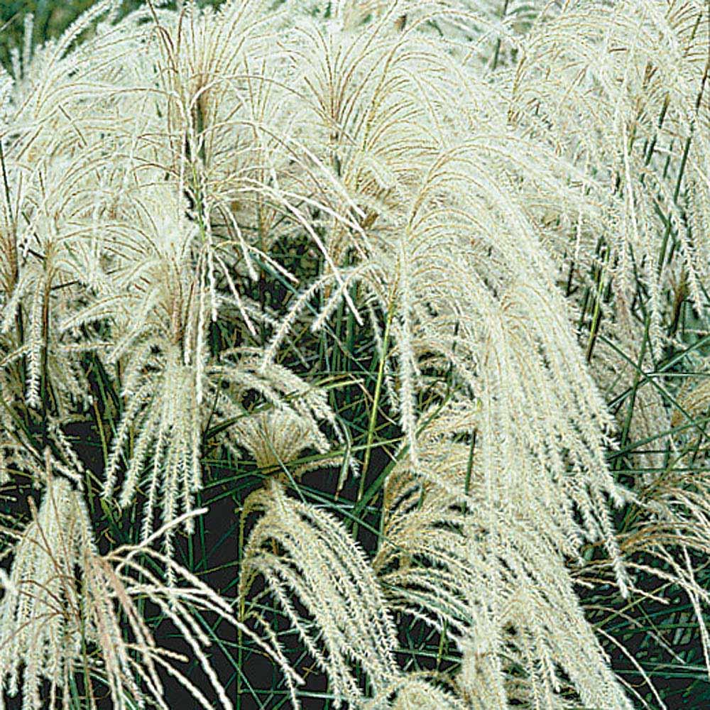 Miscanthus sinensis (Maiden Grass)