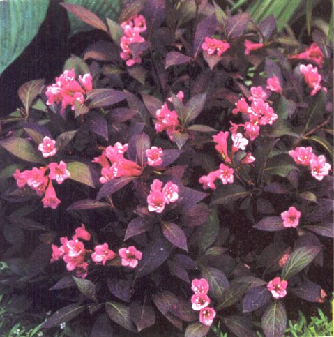 weigela_midnight_wine.jpg