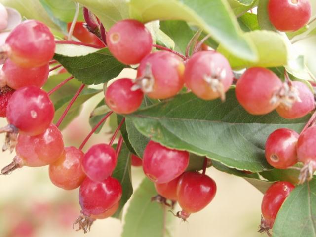 Crabapple Fruit Size