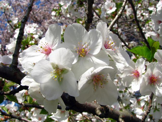Snow Goose Cherry