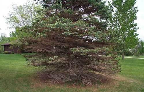 Spruce Needle Cast